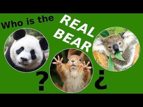 koala panda bear