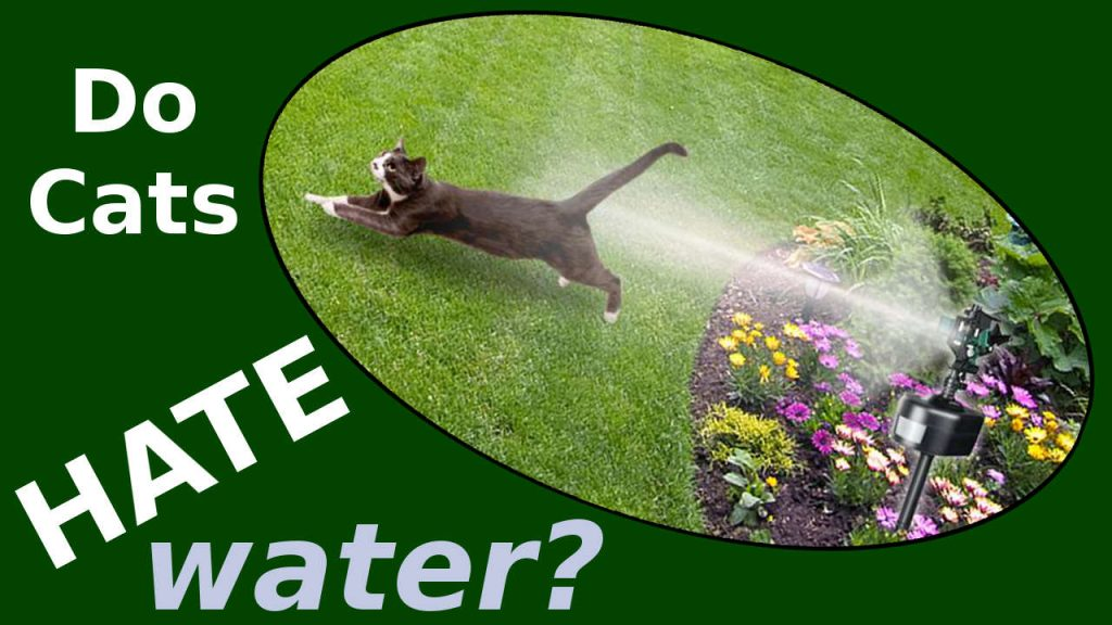 Do Cats Hate Water