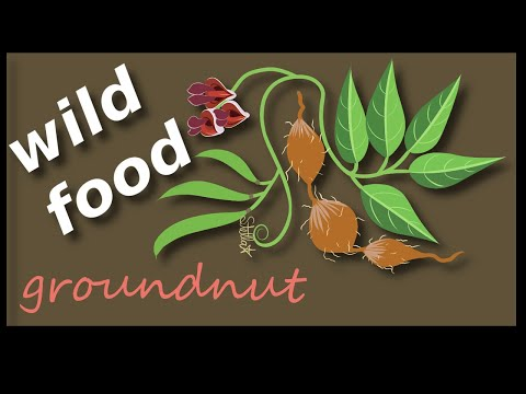 groundnut - wild edible forest food